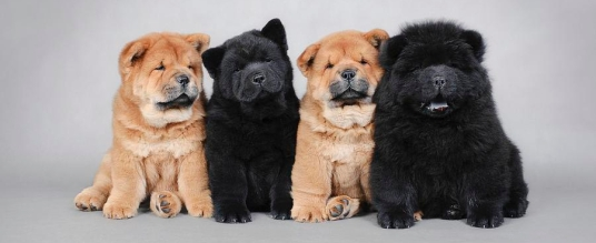 four-little-chow-chow-puppies-portrait-waldek-dabrowski