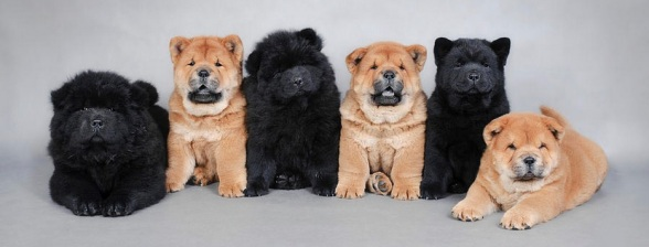 5 Chows